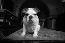 Stella - English Bulldog