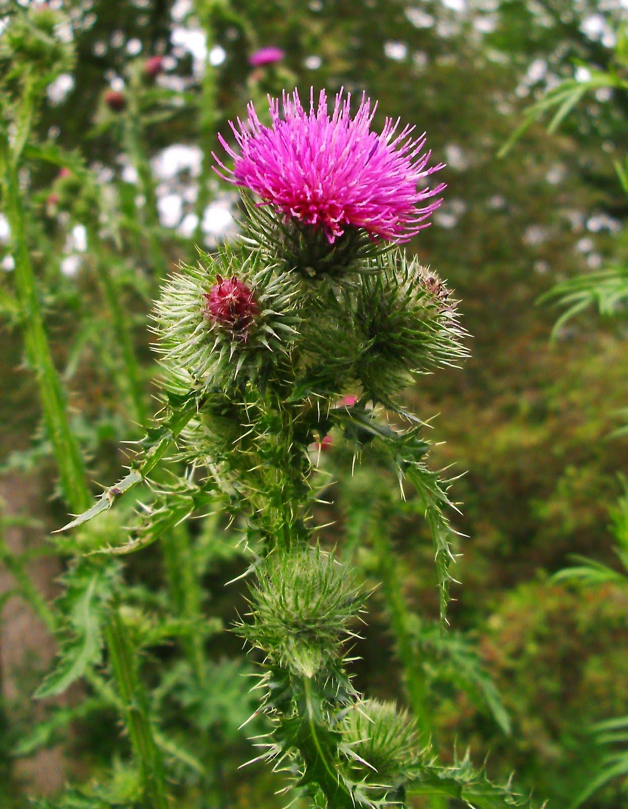 Garrique Cottage, Stirling: Scottish Thistles