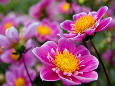 https://1.bp.blogspot.com/_UrjgWQHz0MY/SiFoP6aCxgI/AAAAAAAAAkQ/GOtK8fJVv_8/s400/Lindas_flores_rosa.jpg
