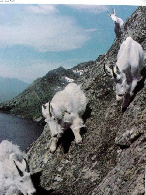 Facts Around Us Goats Being Crazy Stunning Mountain Goats