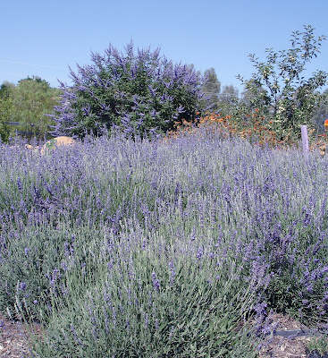 royal purple lavender with vitex tree