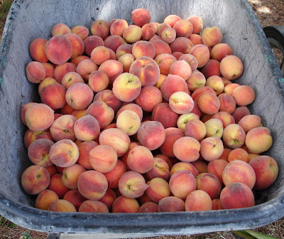 wheelbarrow full of red haven peaches