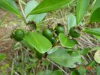 Fruta de araçá-amarelo ainda verde
