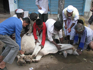All the legs are tied together and people hold the bull with all their strength