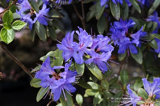 Digital Flower Pictures Com Blue Rhododendron