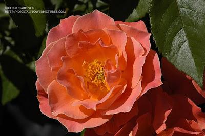 Livinu0027 Easy Floribunda Rose