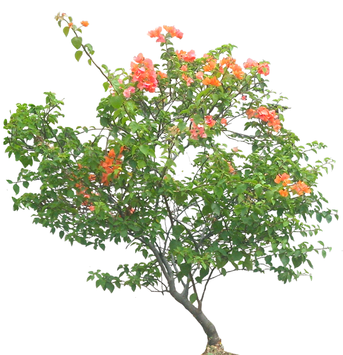 Tropical Plant Pictures Bougainvillea