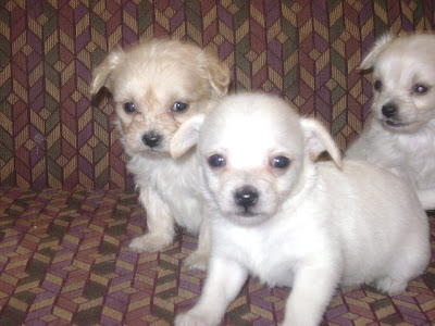 Precious Treasures Blog Poochi Puppies For Sale Will Deliver To
