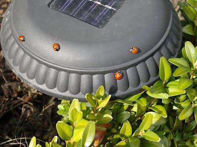 lieveheersbeestjes overal eerste tekens van lenthe 2010