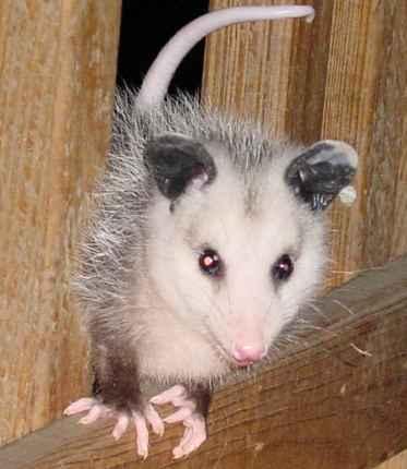 [opossum8.jpe]