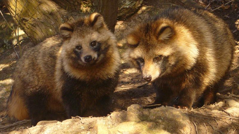[raccoon+dog]