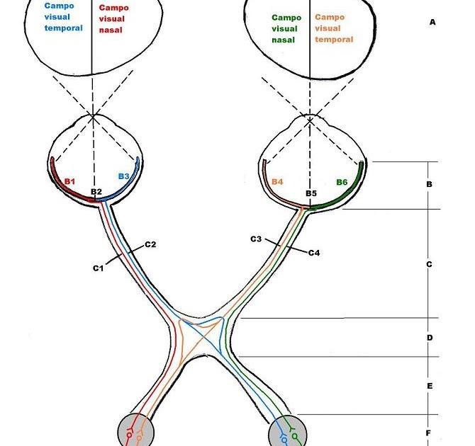 Anatomía del ojo y sus anexos: Vía visual