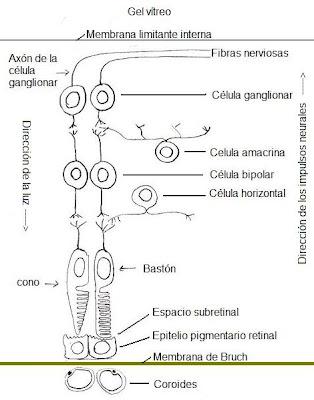 Anatomía del ojo y sus anexos: Retina