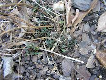 Coreopsis emerging in spring!