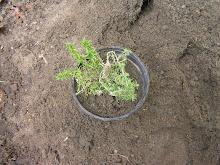 Phlox planted