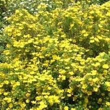 """Potentilla Fruticosa """"K. Dykes"""""""