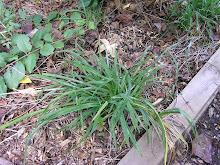 Mature daylily planted