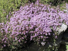 Thymus or Thyme