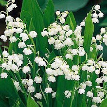 Convallari magalis-Lily-of-the-Valley, Jacob's Ladder
