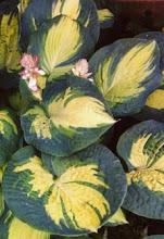 Hosta-Plantain lily, Funkia