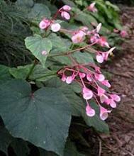 Begonia grandis-Hardy Begonia