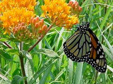 Asclepias tuberosa-Butterfly Weed