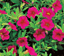 "Calibrachoa-""Mission Bells"" hybrid"