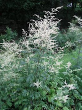 Artemisia -Artemisia, Wormwood, Mugwort