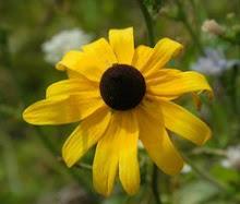 Rudbeckia-Black-eyed Susan, Gloriosa Daisy