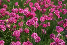 Armeria-Sea Thrift, Sea Pinks