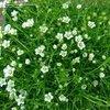 Sagina subulata-Irish Moss, Pearlwort