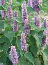 Agastache-Hyssop, Hummingbird Mint