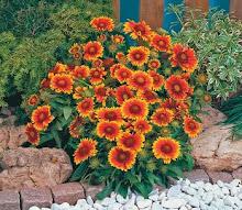 Gaillardia-Blanket Flower