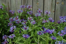 Centaurea montana-Mountain Bluet, Perennial Bachelor Button, Cornflower