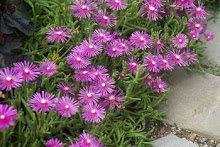 Delosperma-Hardy Ice Plant