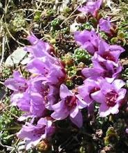 Saxafraga-Strawberry Geranium, Cobweb Saxifrage, Rockfoil