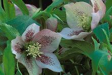 Helleborous-Lenton Rose