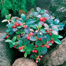 Gaultheria-Wintergreen, Partridge Berry
