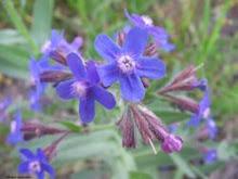 Anchusa-Italian Bugloss