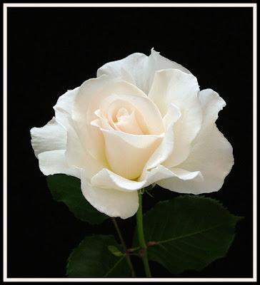 Ruža White+Rose