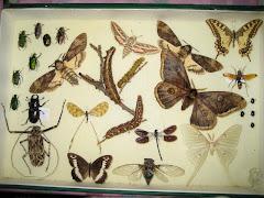 Colección de Insectos de Emilio Monedero