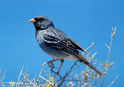 yal carbonero aves patagonicas