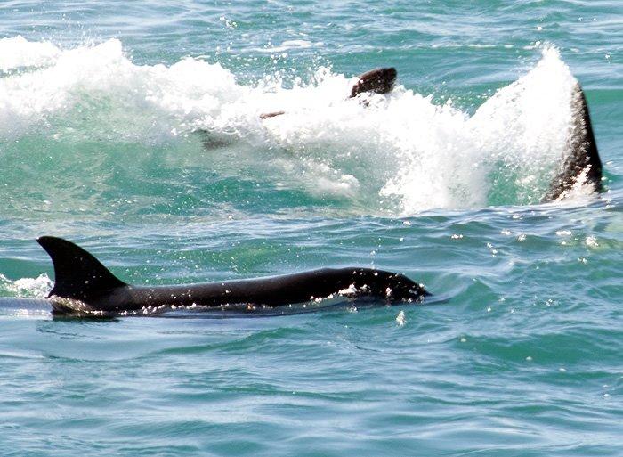 punta norte ataque de orca