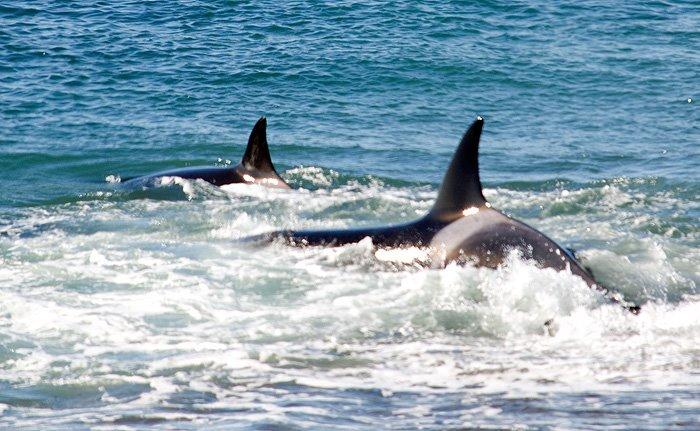 ataque de orca en punta norte