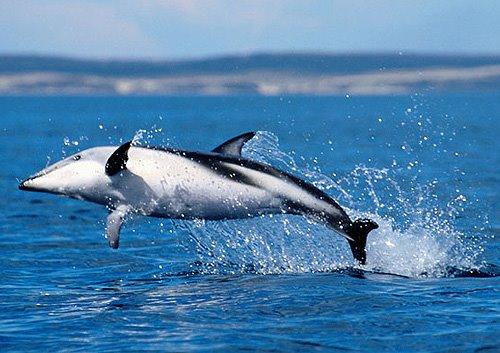 Delfín Oscuro en Puerto Pirámides Península Valdés