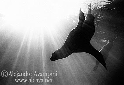 Foto submarina de Lobos Marinos en Península Valdés