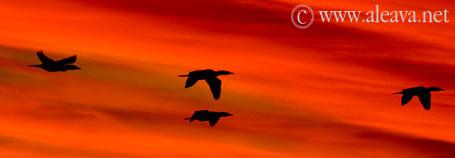 Cormoranes volando al Atardecer en sobre la costa de Península Valdés