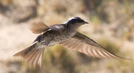 Golondrina Negra Ave migratoria de Península Valdés