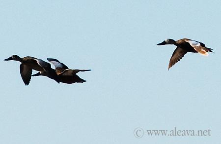 Aves de Patagonia Pato Cuchara volando por patagonia