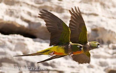 Loros barranqueros aves de Península Valdés